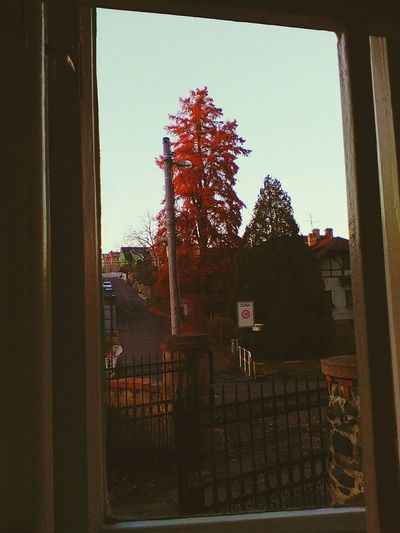 Red Tree Autumn