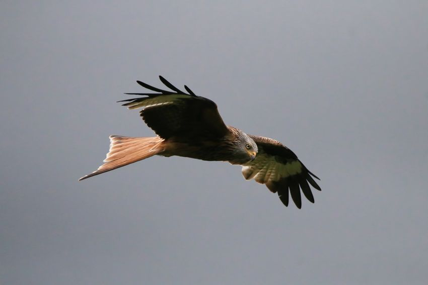 Red Kite Animal Animal Themes Animal Wildlife Animals In The Wild Bird Bird Of Prey Clear Sky Copy Space Day Eagle Flying Low Angle View Mid-air Motion Nature No People One Animal Outdoors Sky Spread Wings Vertebrate