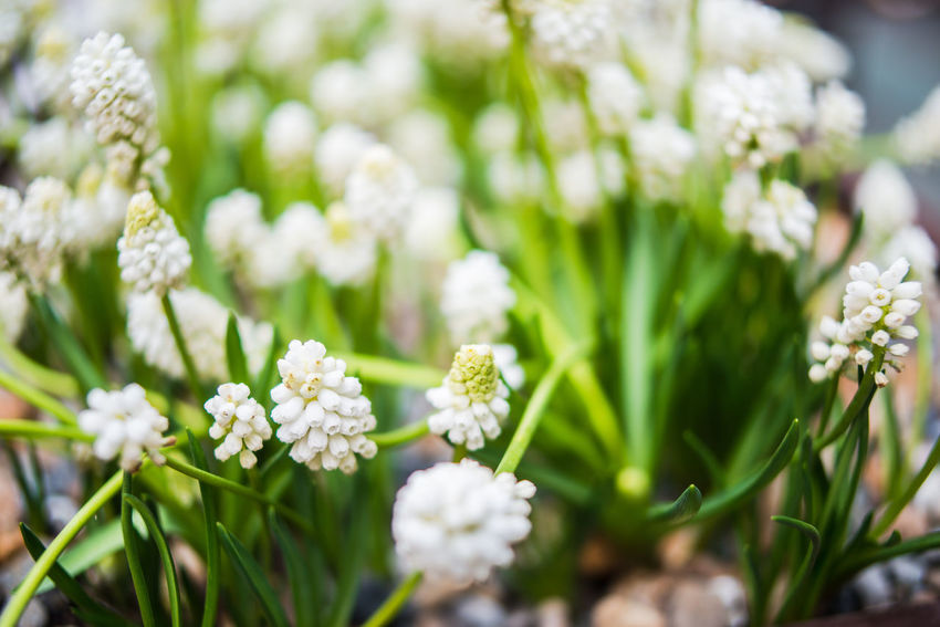 White muscari blooming Muscari A Large Group Of Objects Abundance Beauty In Nature Blooming Close-up Day Flower Flower Head Fragility Freshness Grape Hyacinth Green Color Growth Nature No People Outdoors Plant Spring Spring Flowers White Color White Muscari