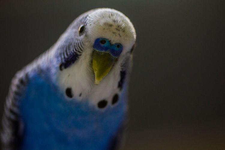 Close-up portrait of blue budgerigar