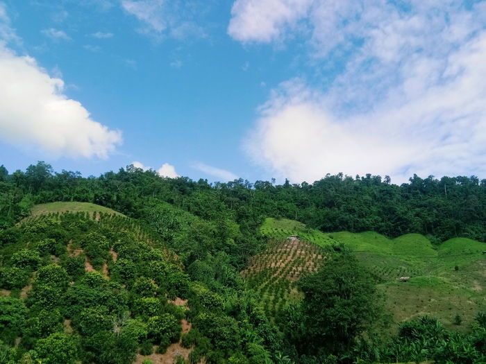 สวน Tree Rural Scene Agriculture Field Sky Cloud - Sky Green Color Countryside Plantation Agricultural Field Farmland Tea Leaves Dramatic Sky Lush - Description Rice Paddy Green Tea Chinese Tea Vineyard Terraced Field Tea Crop Woods Herbal Tea Farm Cultivated Land Crop  Vine