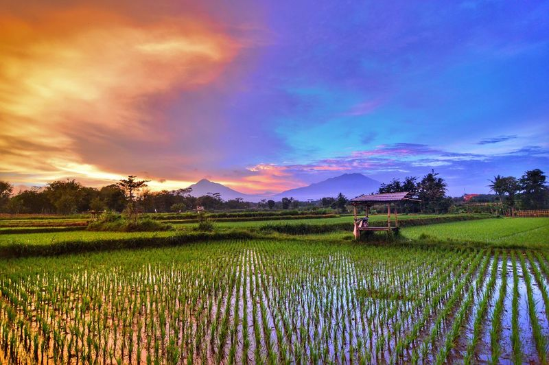 Scenic view of rice paddy against cloudy sky during sunset