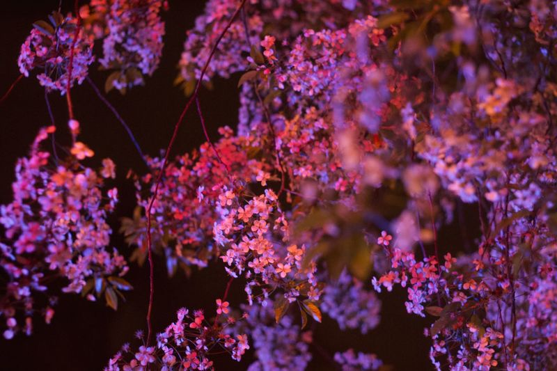 Springtime Cherry Blossom Nightphotography Flower Flowering Plant Beauty In Nature Plant Pink Color Nature No People Freshness Fragility Purple Close-up Tree Outdoors Growth Vulnerability  Branch Blossom Springtime Decadence