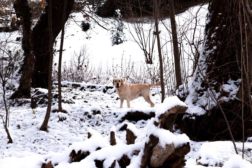 Mela Labrador MR7 Melancholic Landscapes Animal Themes Animal Wildlife Animals In The Wild Bare Tree Beauty In Nature Canon Cold Temperature Day Dog Domestic Animals Eos77D Field Forest Landscape Mammal Nature No People One Animal Outdoors Snow Tree Winter