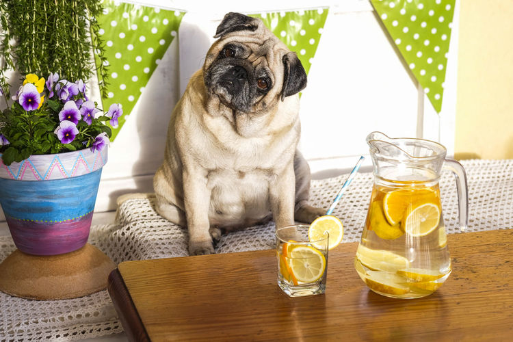 Portrait of pug with breakfast at table