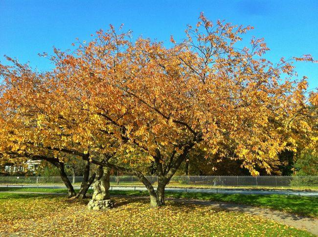 Autumn Trees Hamburg Autumn Colors Tree Colors Of Autumn TreePorn Autumn🍁🍁🍁 EyeEm Best Shots Jopesfotos - Nature
