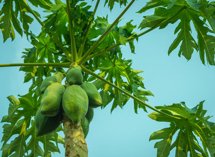 Low angle view of papayas growing on tree against clear sky