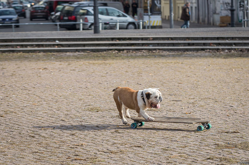 Animal Themes Day Dog Dog Makes Skateboarding Domestic Animals English Bulldog Mammal No People One Animal Outdoors Pets Skateboard Skateboarding Standing