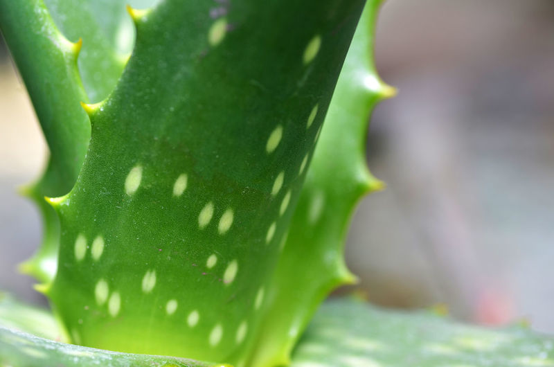 Close-up of fresh aloe vera