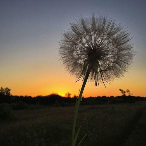 Dandelion Sky Plant Beauty In Nature Sunset Field Tranquil Scene Land Landscape Silhouette No People Idyllic Non-urban Scene