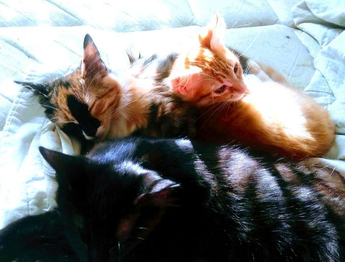 Precious bundles of furr💛💜💚💙 Pets Domestic Animals Animal Themes Indoors  No People Bed Close-up Feline Gingercatsofinstagram Tabby Cat Gingercatsrule Calicosofinstagram Black Cat Blackkittens Calico Kitty Gingerkitty