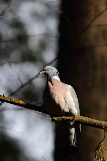 Woodpigeon Woodpigeon Bird Animal Themes Animal Animal Wildlife Vertebrate Animals In The Wild One Animal Perching Focus On Foreground Beauty In Nature Selective Focus Beak Tree