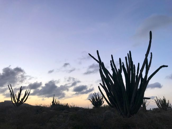 Antilles Island Caribbean Dutch Caribbean Travel Cactus Saguaro Cactus Nature Growth Plant Beauty In Nature Sky Desert Outdoors No People Tranquility Uncultivated Sunset Prickly Pear Cactus Scenics Arid Climate Day