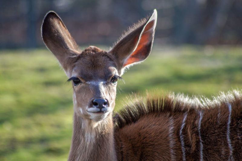 Bambi deer One Animal Portrait Mammal Looking At Camera Animal Body Part Domestic Animals Focus On Foreground Animal Wildlife No People Day Llama Close-up Livestock Animals In The Wild Vertebrate Nature Animal Ear Herbivorous Deer