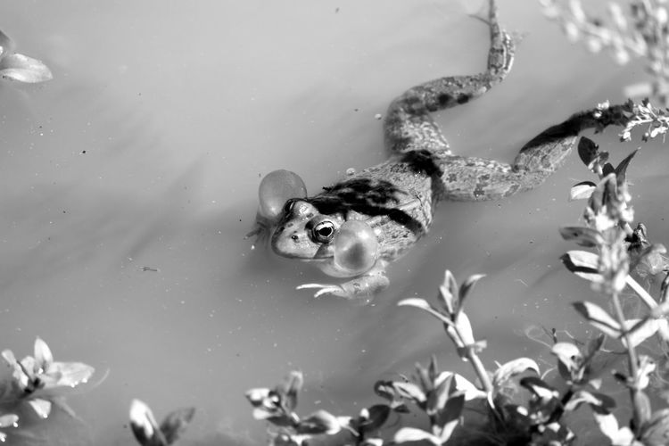 Animal Photography Animal Themes Animal_collection Animals Black & White Black And White Blackandwhite Blackandwhite Photography Bnw Eye4photography  EyeEm Best Shots EyeEm Nature Lover EyeEmBestPics Frog Frogs My Favorite Photo