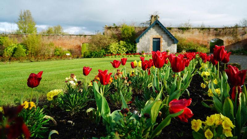 Dromolandcastle Secret Garden Tulip