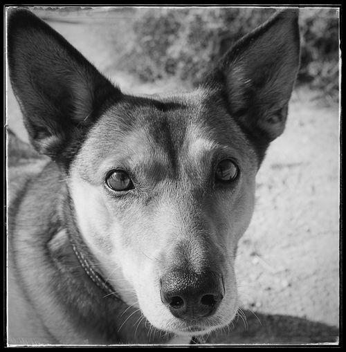 Portrait Swedish Vallhund Fujifilm Fujix100f Black And White Blackandwhite Photo444 Animal Canine