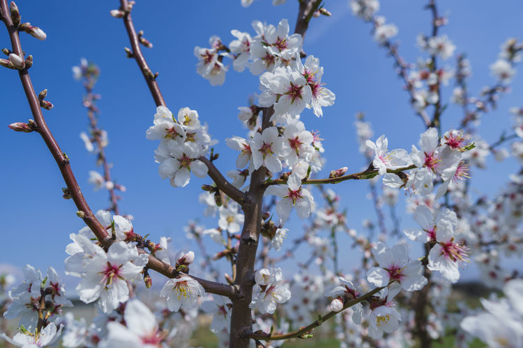 Flower Flowering Plant Plant Fragility Vulnerability  Growth Freshness Tree Beauty In Nature Blossom Branch Day Nature Low Angle View Cherry Blossom Springtime Sky Fruit Tree Twig White Color No People Flower Head Cherry Tree Pollen Outdoors