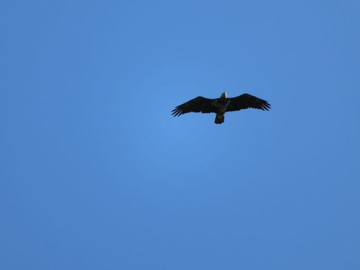 Eagle Eagle Eagle - Bird Bird Of Prey Bird Spread Wings Flying Clear Sky Blue Mid-air Sky