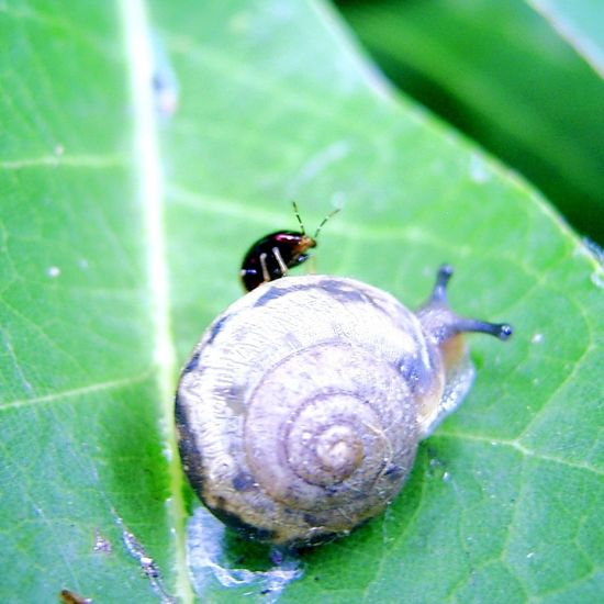 _Geocoris proteus_ Lygaeid Stinkbug Snail Nature