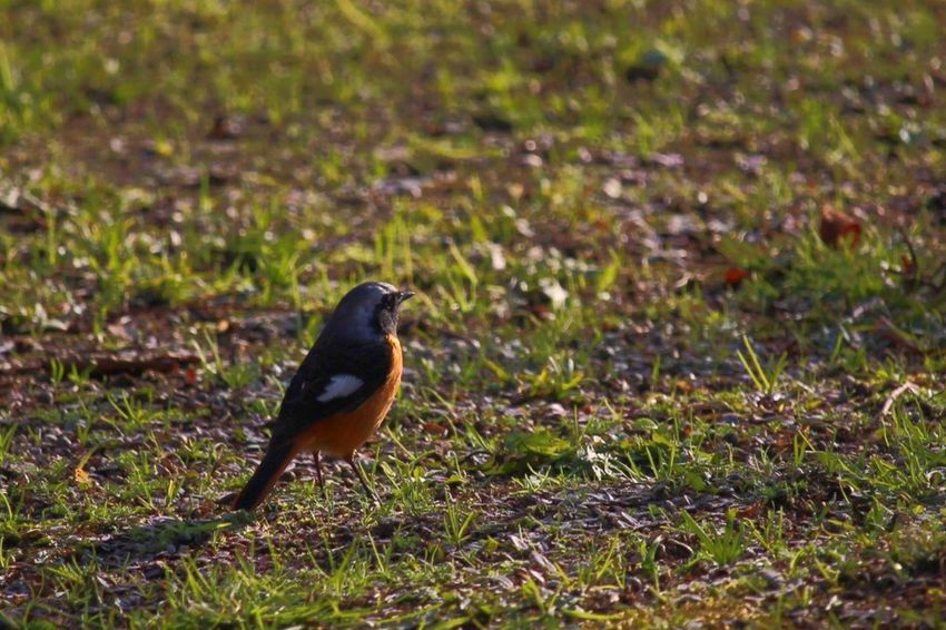 ジョウビタキ オス Bird Bird Photography Daurian Redstart EyeEmBirds EyeEm Birds
