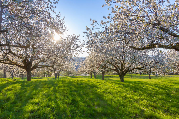 Cherry trees in spring, Remstal, Germany Plant Tree Springtime Beauty In Nature Blossom Nature Flower Sunlight Scenics - Nature Tranquility Growth No People Landscape Outdoors Lens Flare Cherry Tree Cherry Blossom Sun Sky Baden Württemberg Remstal Agriculture Fruits Farm Cultivation