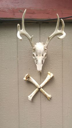 Antler Animal Skull Day Close-up No People Hanging Tupponce Photography David Tupponce North America United States Of America USA New Jersey Skull And Crossbones Deer Painted Surface Paneling Wood Farm Life Mullica Hill Deer Death & Decay Deer Antler Deer Skull Bones Sun Bleached