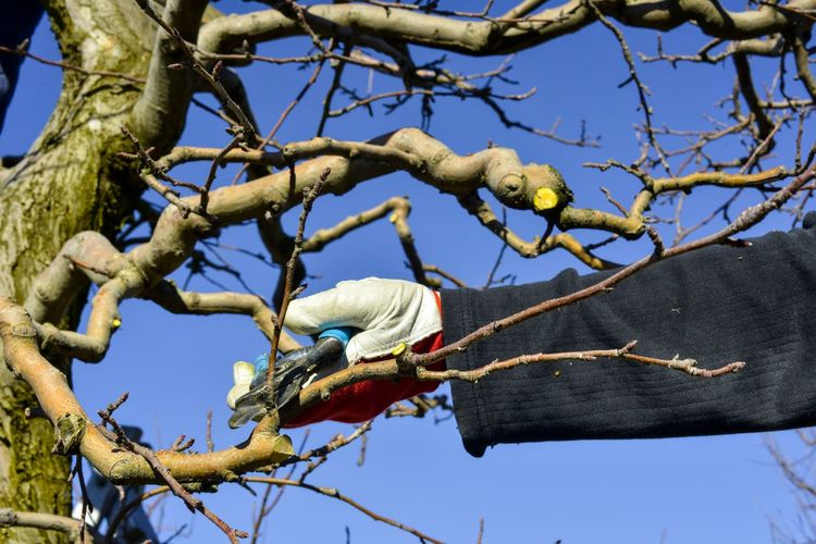 pruning apple orchard Agriculture Apple Orchard Farmer Pruning Sunny Activity Apple Tree Apple Trees  Branch March Protective Glove Pruning Apple Tree Pruning Shears Shears