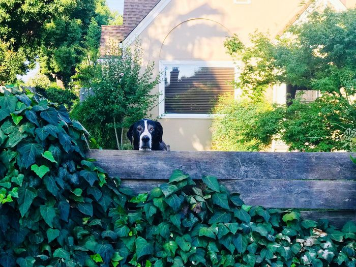 Buddy is watching you 😆 he wants to play. Frontyard Watching Street Home Big Dog Dog Pet Plant Architecture Built Structure Growth Nature Day Building Exterior No People Green Color Outdoors Water Tree Leaf Building Plant Part Sunlight Reflection Front Or Back Yard Wall Hedge