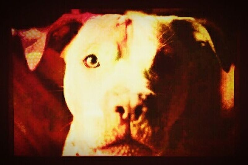 Staffylovers Staffordshirebullterrier they are the best breed ever aka the nanny dog due to the way they care so much for kids Mydogsarecoolerthanyourkids EyeEm Best Edits Spendingtimewithanimals