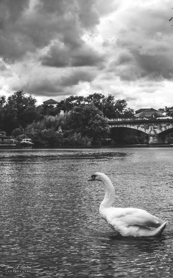 London Canon Love Photography Awesome Canonphotography Hobbyphotography Bestoftheday Black Thames Swan MuteSwan Blackandwhite Bestoftheday Bestshot Amazing Capture The Moment