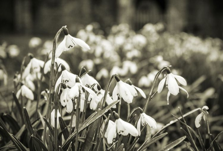 Close-Up Of Wet Snowdrop Flowers Blooming At Park