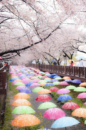 Colourful umbrellas under the cherry blossoms Abundance Cherry Blossoms Cherry Tree Colorful Colourfull Decoration Multi Colored Optimistic Outdoors Perspective Tourism Tourist Destination Umbrellas Color Of Life