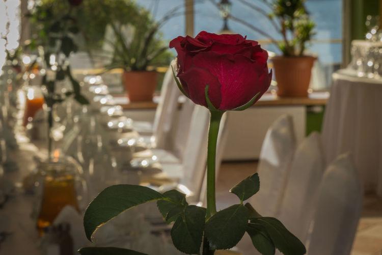 Rose Roses Rose