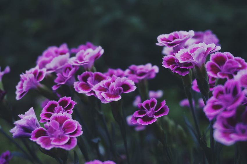 Purple colored Carnation flowers, Dianthus Carnation Carnation Flowers Dianthus Dianthus Caryophyllus Flower Flower Collection Flowers,Plants & Garden Flowering Plant Garden Flower Flower Head Pink Color Purple Nature Reserve Summer Close-up Plant