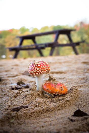 Mushroom Land Fungus Nature Selective Focus Day Close-up No People Food Focus On Foreground Growth Vegetable Outdoors Food And Drink Plant Beauty In Nature Tranquility Fly Agaric Mushroom Sky Toadstool Surface Level Sand Fresh Table Toxic