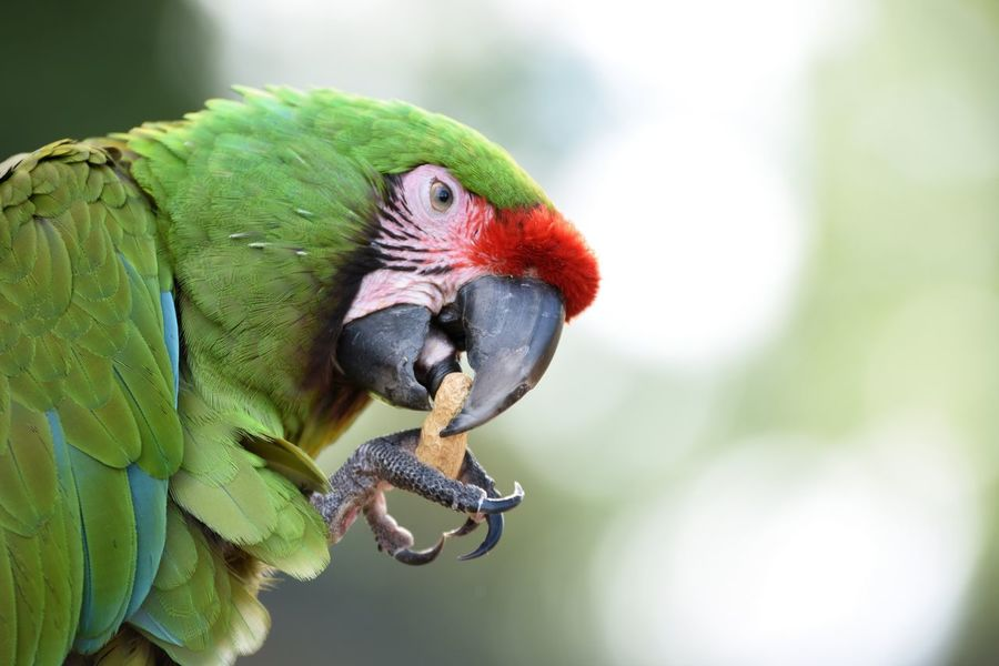 Bird Photography Parrots Of Eyeem Parrot Lover Parrot Eating Zoo Wildlife Wildlife Photography Macaw Macaw Parrot Macaw Bird. Single Animal Perched Bird Perching On A Branch Perched Macaws Bird