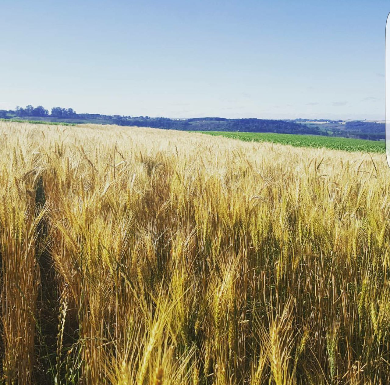 agriculture, field, crop, growth, farm, landscape, nature, cereal plant, tranquility, tranquil scene, beauty in nature, rural scene, scenics, wheat, ear of wheat, no people, clear sky, sky, day, outdoors, plant, grass