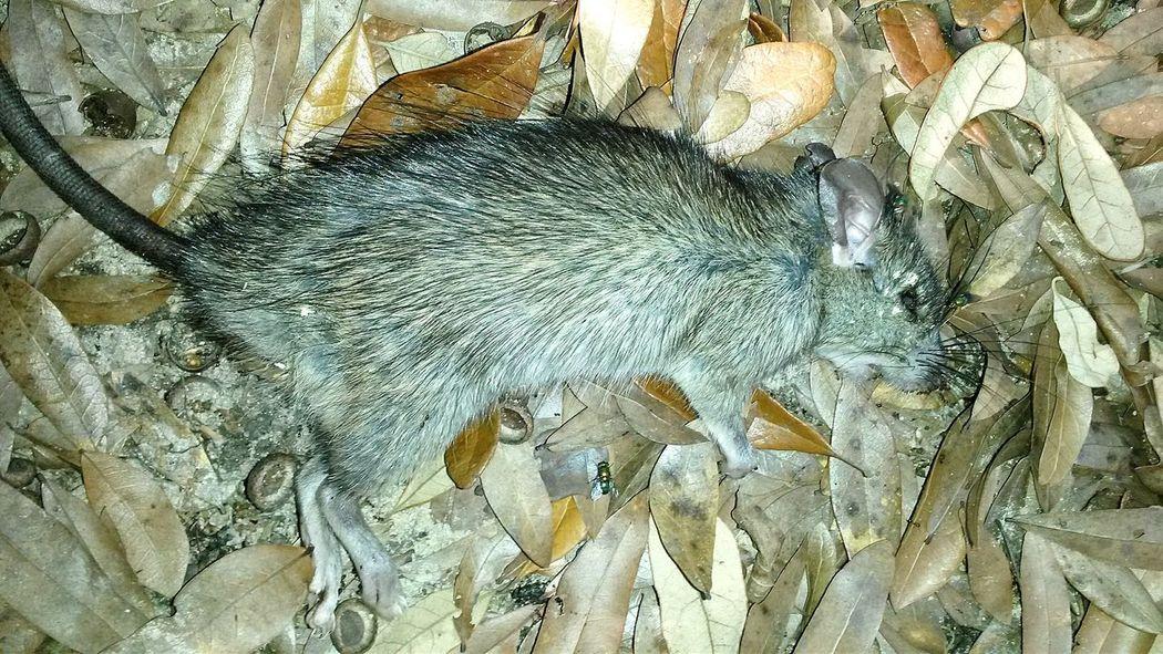 Rat Dead Animal Dead Rat
