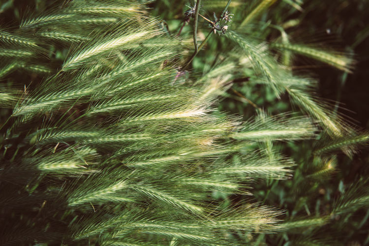 Plant Growth Nature Beauty In Nature Close-up Day No People Selective Focus Focus On Foreground Green Color Tree Land Outdoors Field Tranquility Fragility Pine Tree Coniferous Tree Vulnerability  Botany Softness