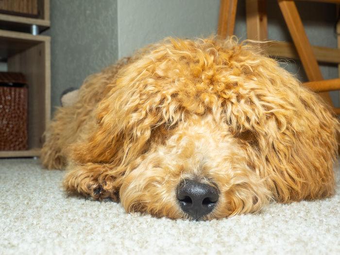 Close-up of a dog at home