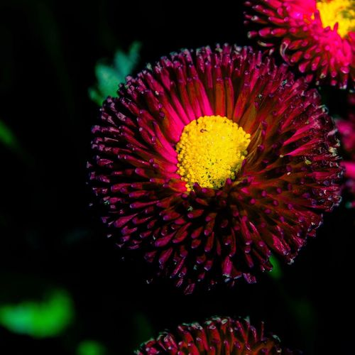 Midnight Beauty ... Red Yellow Flowers Flower Petal Beauty In Nature Flower Head Fragility Nature Freshness Yellow Red Outdoors Close-up Day Plant Blooming Growth Pollen