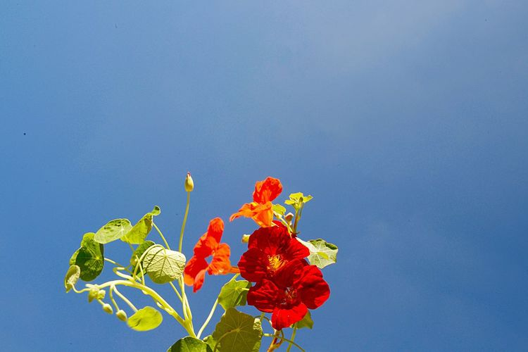 Tropaeolum Majus Monks Cress Indian Cress Nasturtium Medicinal Plant Horticulture Garden Blossom Outdoors Flower Flowering Plant Plant Nature Blue Beauty In Nature No People Copy Space Freshness Sky Leaf Outdoors Flower Head Growth Plant Part Fragility Vulnerability  Inflorescence Close-up Day