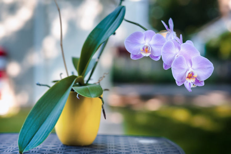 Close-Up Of Purple Orchids In Vase On Table