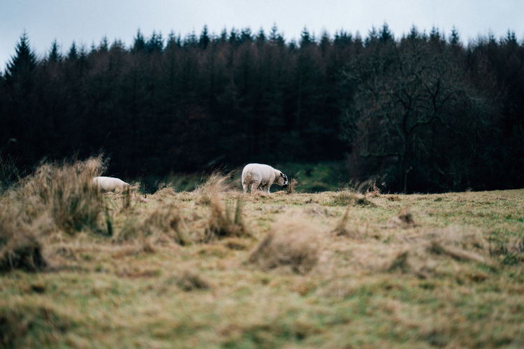Sheep on landscape