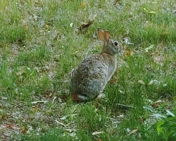 Nature On Your Doorstep Bunny
