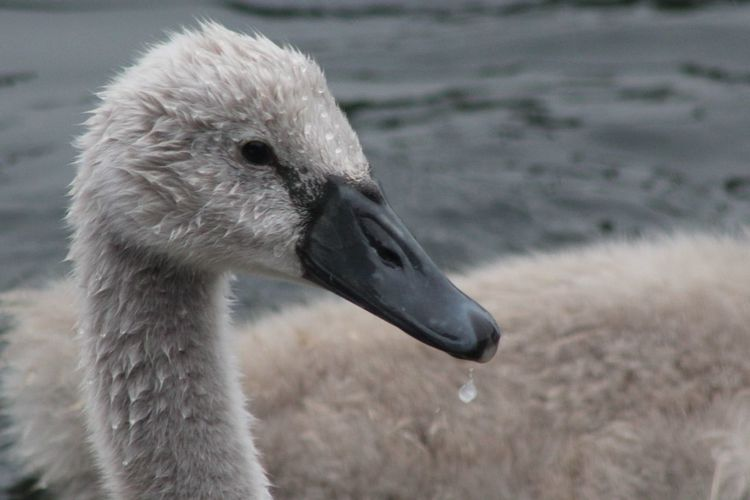 Close-Up Of Cygnet Swimming In Lake