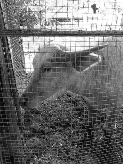 Cage Metal Trapped Close-up Security Bar Day Indoors  Young Adult One Person People Buffalo Animal Black-and-white Photography Pet Portraits