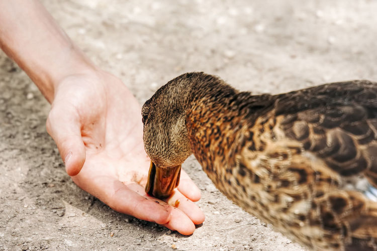 Cropped hand of person feeding duck