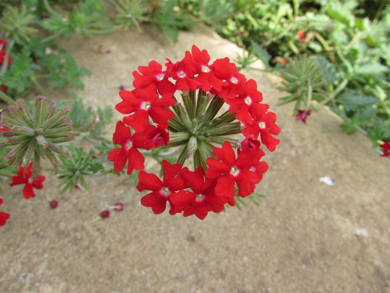 flower, nature, red, petal, beauty in nature, growth, flower head, plant, freshness, fragility, focus on foreground, high angle view, blooming, day, no people, outdoors, close-up, zinnia